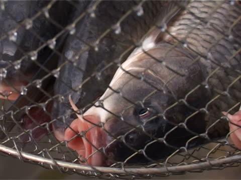 vídeos de stock e filmes b-roll de apanhar peixes vivos em gaiolas - peixe fresco