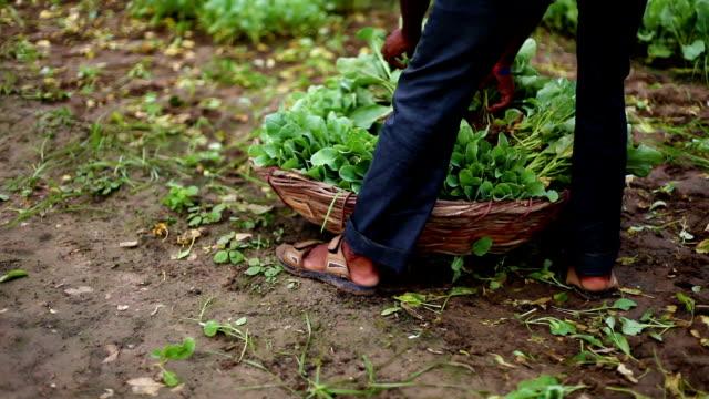 vidéos et rushes de récolte de chou-fleur dans le panier - peuple du sous continent indien