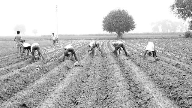 cavolfiore raccolto plantation - viraggio monocromo video stock e b–roll