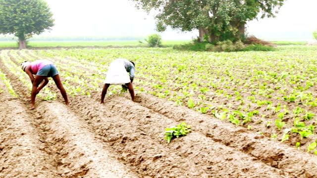 vidéos et rushes de chou-fleur culture plantation - indien d'inde
