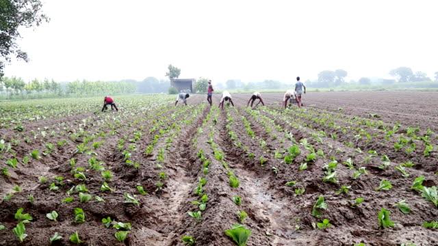 cauliflower crop plantation - employment issues stock videos & royalty-free footage