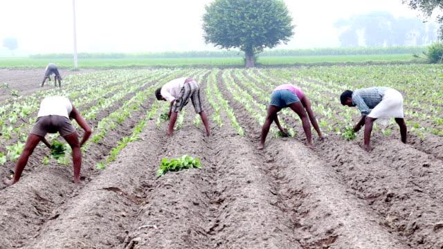 vidéos et rushes de chou-fleur culture plantation - peuple du sous continent indien