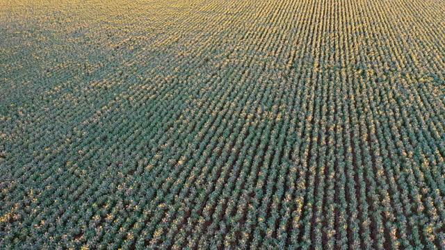cauliflower crops - crucifers stock videos & royalty-free footage
