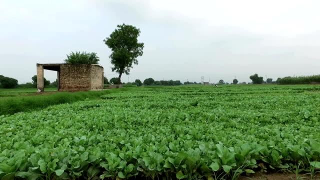 Bloemkool spruitjes klaar voor plantage