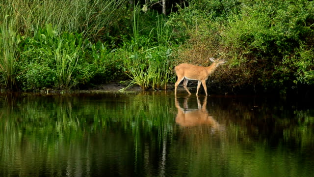 cautious deer with reflection in water while feeding - white tailed deer stock videos & royalty-free footage