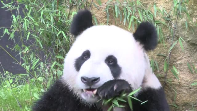 cautiously at first and then with mounting curiosity two giant pandas step outside into their new open air enclosure at a dutch zoo met by a barrage... - compound interest stock videos and b-roll footage