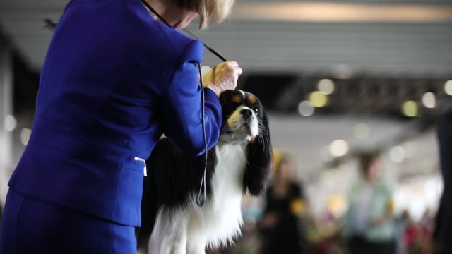 a cavalier king charles spaniel competes at the 142nd westminster kennel club dog show february 12 2018 in new york city the show is scheduled to see... - cavalier king charles spaniel stock videos and b-roll footage