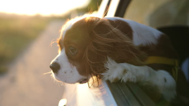 cavalier king charles spaniel - spaniel stock videos and b-roll footage