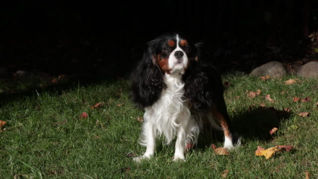 cavalier king charles spaniel - cavalier king charles spaniel stock videos and b-roll footage