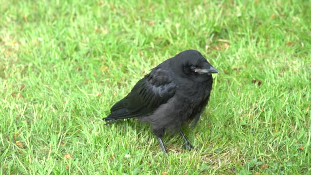 cawing fallen out of nest on a beautiful spring day - lawn stock videos & royalty-free footage