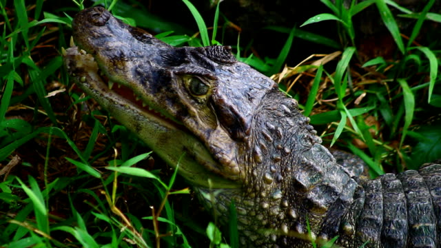 cayman ,crocodile  eye - scaly stock videos & royalty-free footage