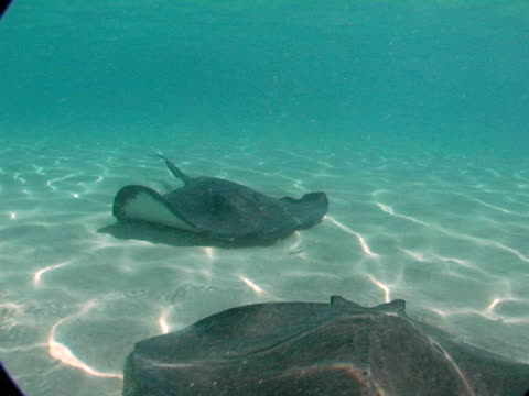 cu, cayman islands, grand cayman, stingray city, stingrays swimming at sea floor - small group of animals stock videos & royalty-free footage