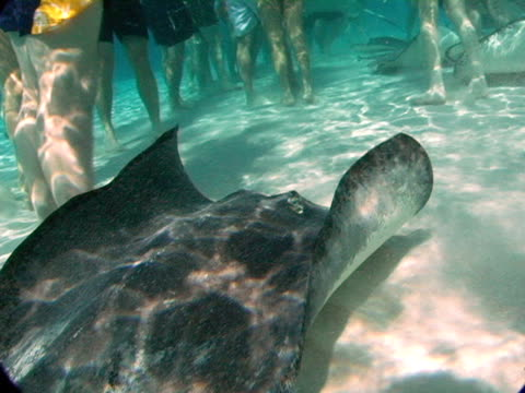 cu, cayman islands, grand cayman, stingray city, tourists playing with stingrays in sea, low section - medium group of animals stock videos & royalty-free footage