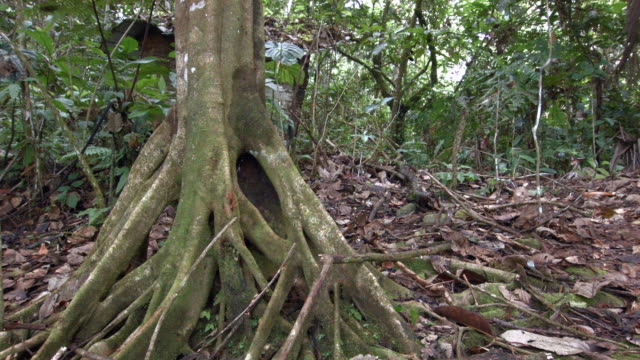 cecropia tree with stilt roots in tropical rainforest, ecuador. time-lapse with many ants running around. - tropical tree stock videos & royalty-free footage