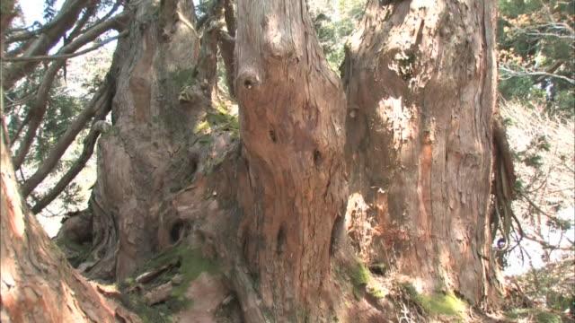 cedar forest in sado island - pinaceae stock videos & royalty-free footage