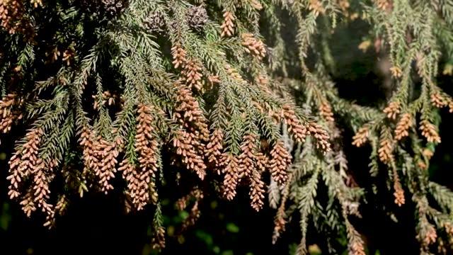 cedar tree pollen flies. - ヒマラヤスギ点の映像素材/bロール