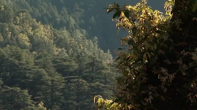 cedrus deodara, dharamsala. a himalayan landscape depicting cedar and hemlock trees blanketing the hillside. - pine stock videos & royalty-free footage
