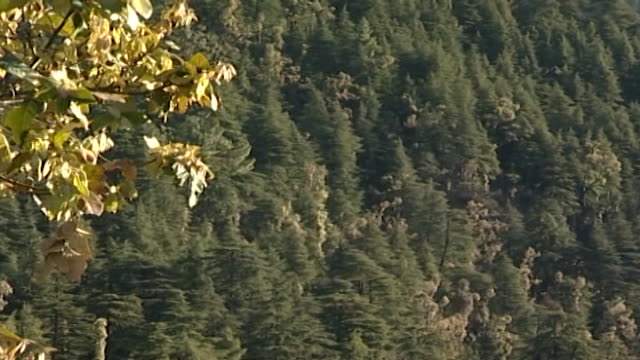 cedrus deodara, dharamsala. a himalayan landscape depicting numerous cedar trees blanketing the hillsides. - pinaceae stock videos & royalty-free footage