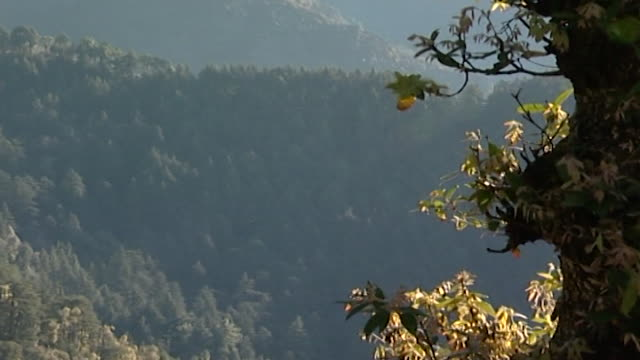 cedrus deodara, dharamsala. across a himalayan landscape depicting a rocky slope jutting out from behind the cedar and hemlock blanketed hillside. - pinaceae stock videos & royalty-free footage