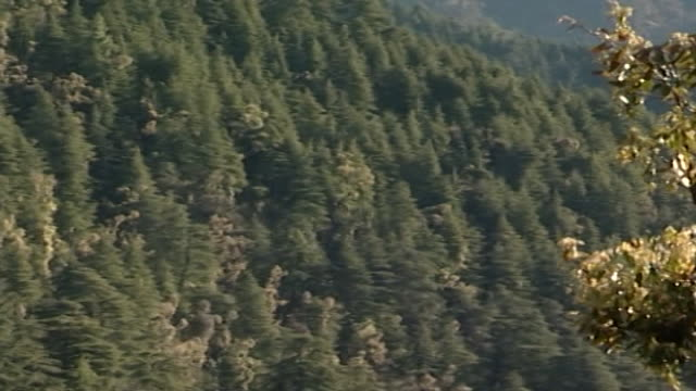 cedrus deodara, dharamsala. pan-right across a himalayan landscape depicting numerous cedar trees, known as cedrus deodara, blanketing the hillside. - pinaceae stock videos & royalty-free footage