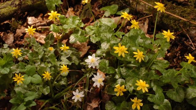 stockvideo's en b-roll-footage met celandine flowers bloom in a forest. available in hd. - tijdopname