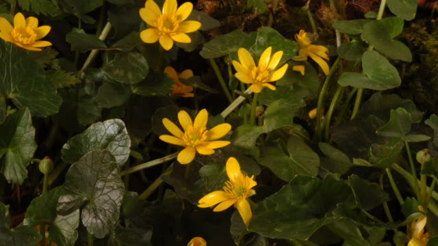 celandine flowers open and close with the changing light as they grow on a woodland floor. available in hd. - fotosintesi video stock e b–roll