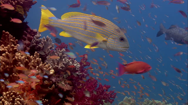 Celebes sweetlips swims over reef, West Papua, Indonesia