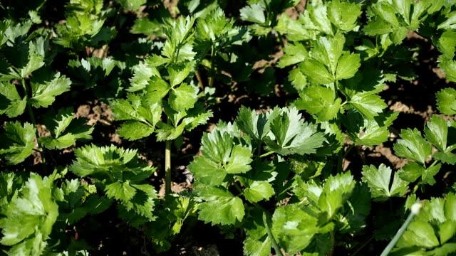 vídeos de stock, filmes e b-roll de colheitadeira de aipo no jardim em hd - aipo