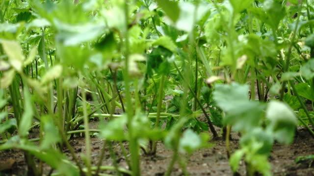 4k celery vegetable in raining season - celery stock videos and b-roll footage