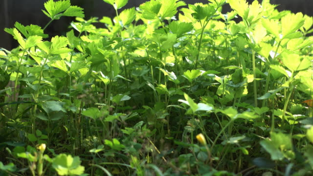 4k : celery vegetable in the plantation (dolly shot) - celery stock videos & royalty-free footage