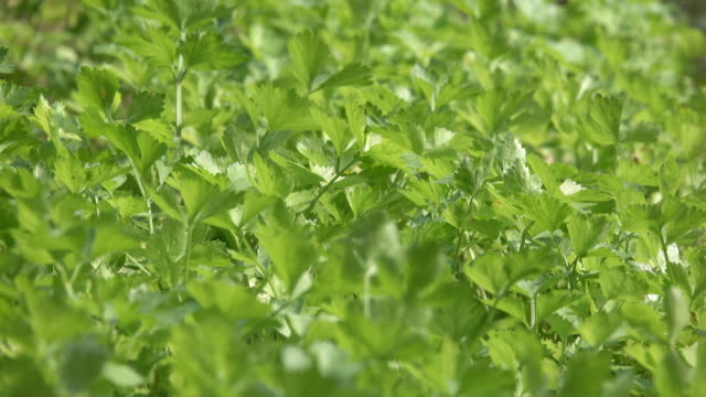 vídeos de stock, filmes e b-roll de 4k: vegetal de aipo no vento - aipo