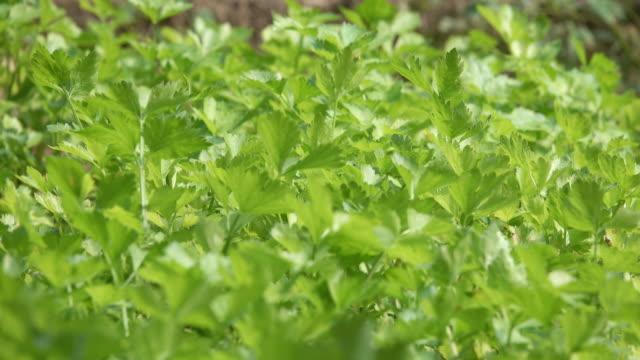 4k : celery vegetable in wind - celery stock videos & royalty-free footage