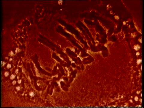 1980 scientific micrograph cell mitosis / united states / audio - chromosome stock videos and b-roll footage