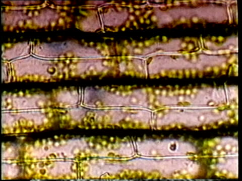 1980 montage scientific micrograph cell mitosis / united states / audio - scientific micrograph stock videos and b-roll footage