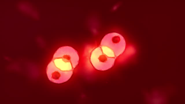 cells multiplying division - magnification stock videos & royalty-free footage