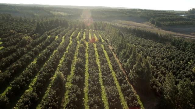 vidéos et rushes de de cena aérea de campos agricultura de laranja - verger