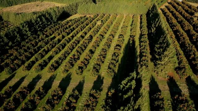 cena aérea de campos de agricultura de laranja - stato di rio grande do sul video stock e b–roll