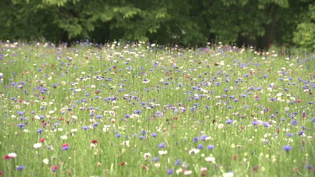 vídeos y material grabado en eventos de stock de centaurea flower, tochigi, japan - pradera