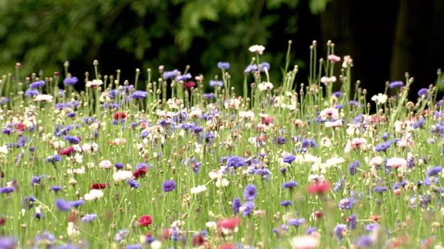 centaurea flower, tochigi, japan - campo video stock e b–roll