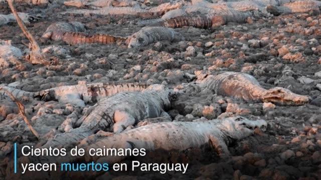 centenares de caimanes yacen muertos en la region del chaco en paraguay por la falta de comida y agua producto de la peor sequia en 19 anos - comida stock videos & royalty-free footage