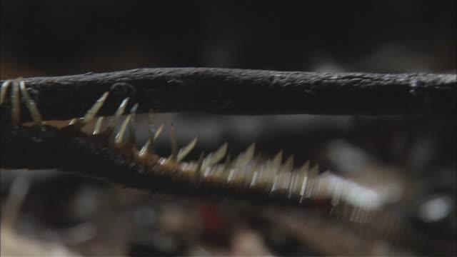 ts centipede crawling along fallen branch on the ground / melbourne, victoria, australia - hundertfüßer stock-videos und b-roll-filmmaterial