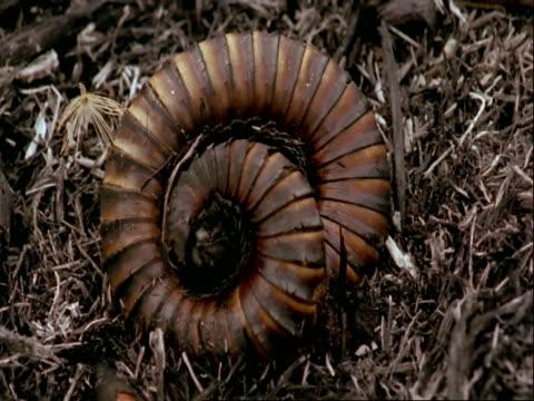 cu centipede curled up, tanzania - 丸くなる点の映像素材/bロール