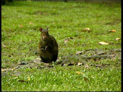 central american agouti, dasyprocta punctata, foraging on ground, eating, ms, panama, central america - foraging stock videos and b-roll footage
