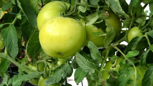 vídeos y material grabado en eventos de stock de central florida organic home garden with tomato plants and vegetables in backyard for healthy diet and eating farm coop - parra