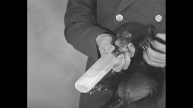 central park zoo attendant bottlefeeding bear cub lying on table / cu cub drinking / various shots cu wriggling cub being held up while drinking /... - central park zoo stock-videos und b-roll-filmmaterial