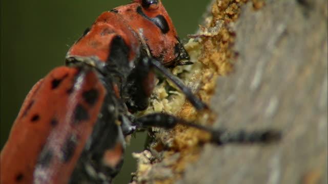 vídeos y material grabado en eventos de stock de cerambycidae carving tree trunk - escarabajo de cuerno largo