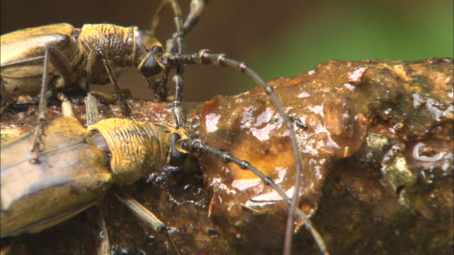 stockvideo's en b-roll-footage met cerambycidae licking sap from the tree trunk - hars