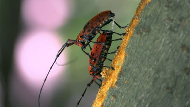 vídeos y material grabado en eventos de stock de cerambycidae mating on tree trunk - escarabajo de cuerno largo
