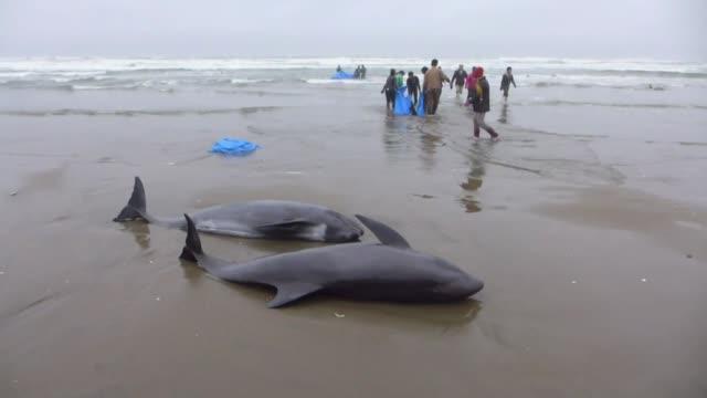 cerca de 150 delfines de cabeza de melon quedaron varados el viernes en una playa de japon donde los habitantes y los guardacostas intentaron darles... - cetaceo video stock e b–roll