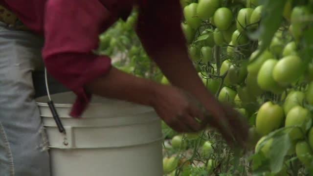 cerca de 80.000 recolectores de fruta en el noroeste de mexico, que afirman trabajar en condiciones esclavas, empiezan a reclamar sus derechos - fruta stock videos & royalty-free footage